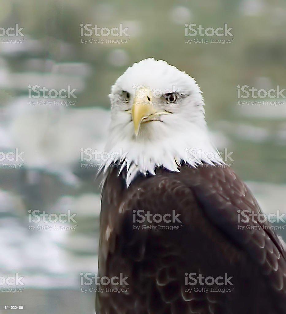 American Eagle stock photo