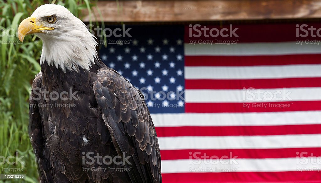 American Eagle with US Flag royalty-free stock photo