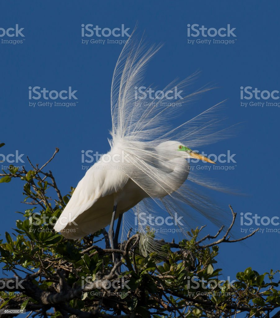 American Egret Displaying stock photo