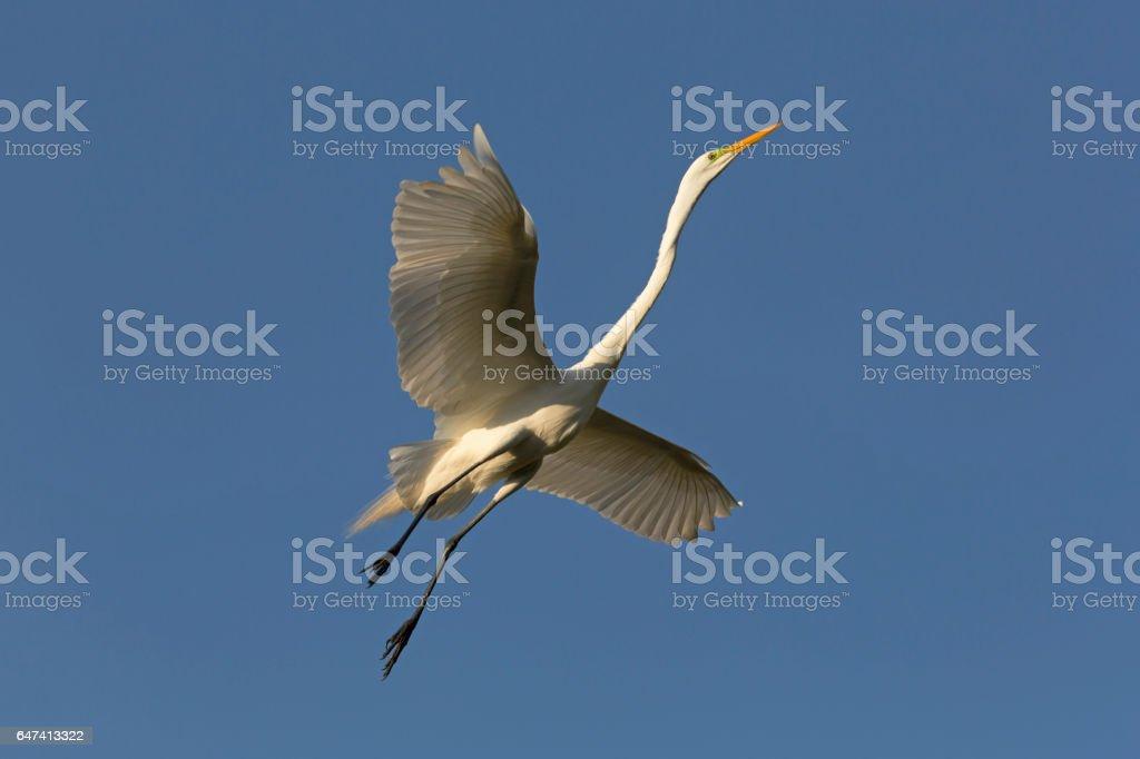 American Egret in Flight stock photo
