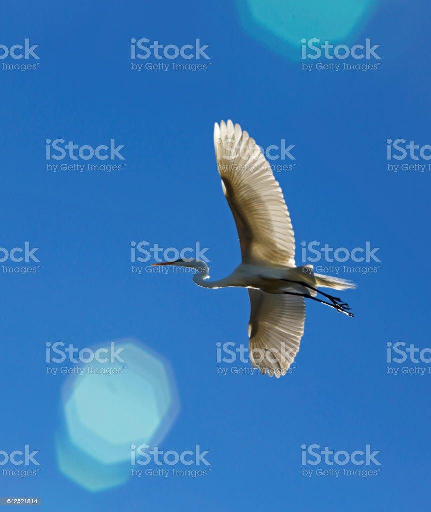 American Egret into the Sun stock photo