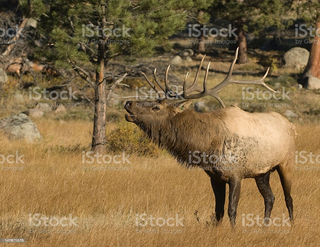 American Elk in a field stock photo