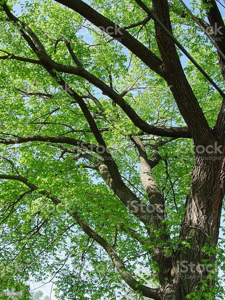 American Elm royalty-free stock photo