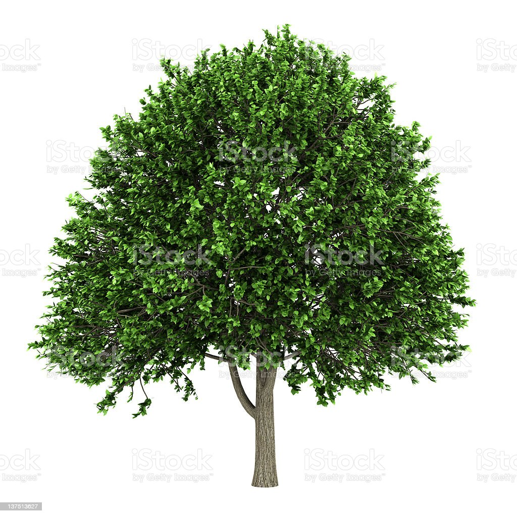 american elm tree isolated on white background royalty-free stock photo