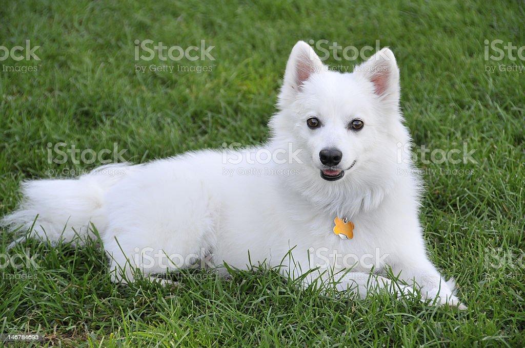 American Eskimo Dog royalty-free stock photo