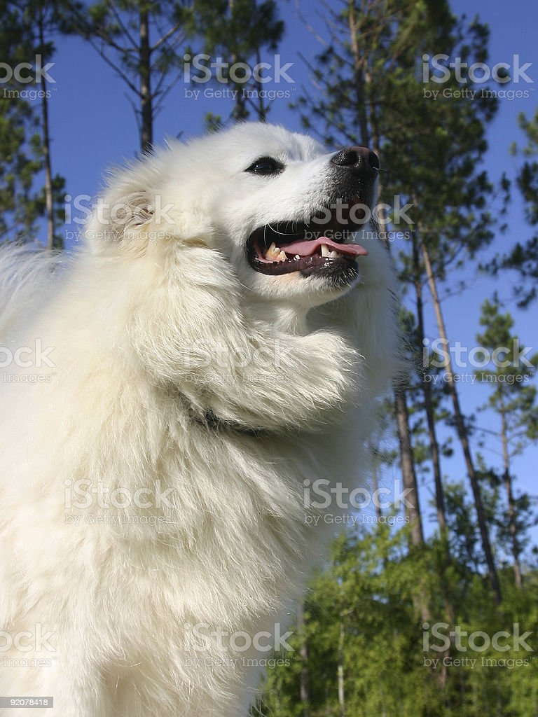 American Eskimo Dog royalty-free stock photo
