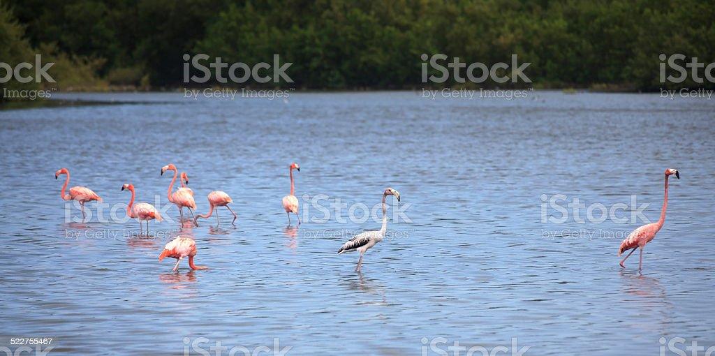 American Flamingo stock photo