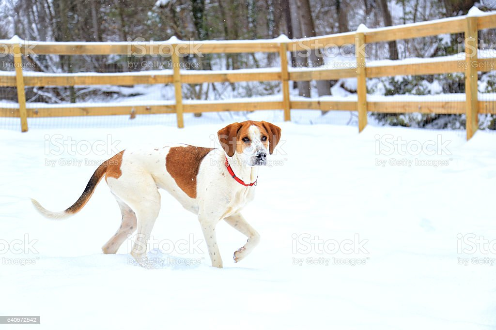 American Foxhound in snow stock photo
