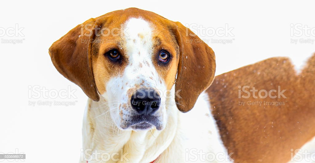 American Foxhound stock photo