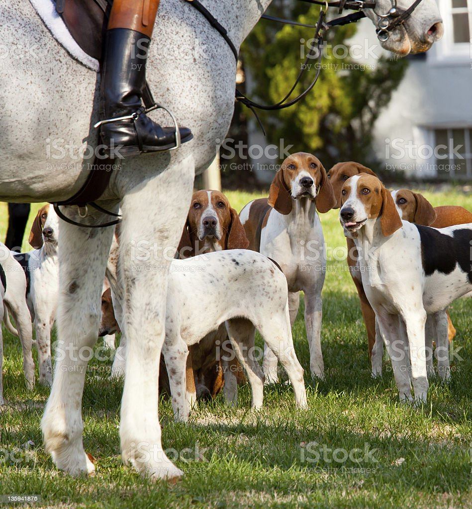 American Foxhounds before a hunt stock photo