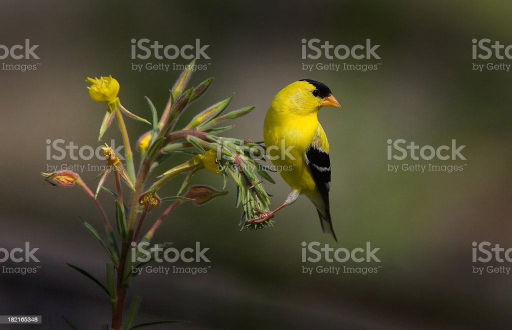 American Gold Finch - Male stock photo