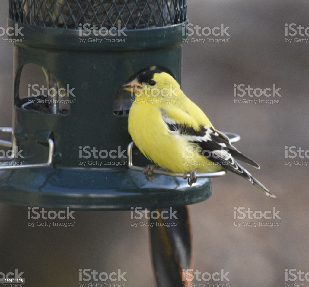 American Gold finch on bird feeder stock photo