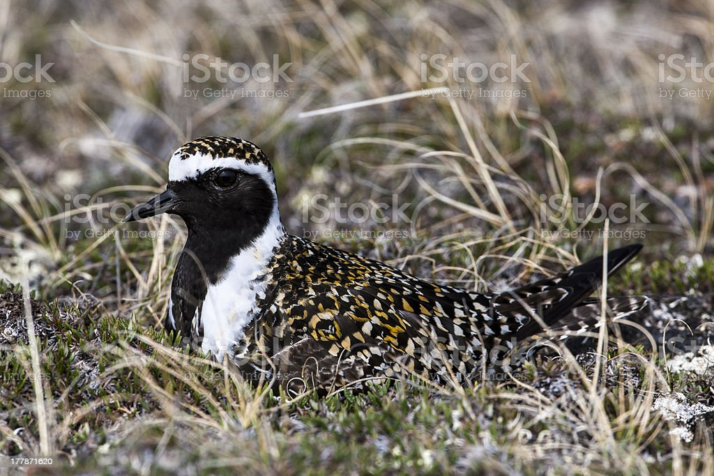 American Golden Plover on Its Nest stock photo
