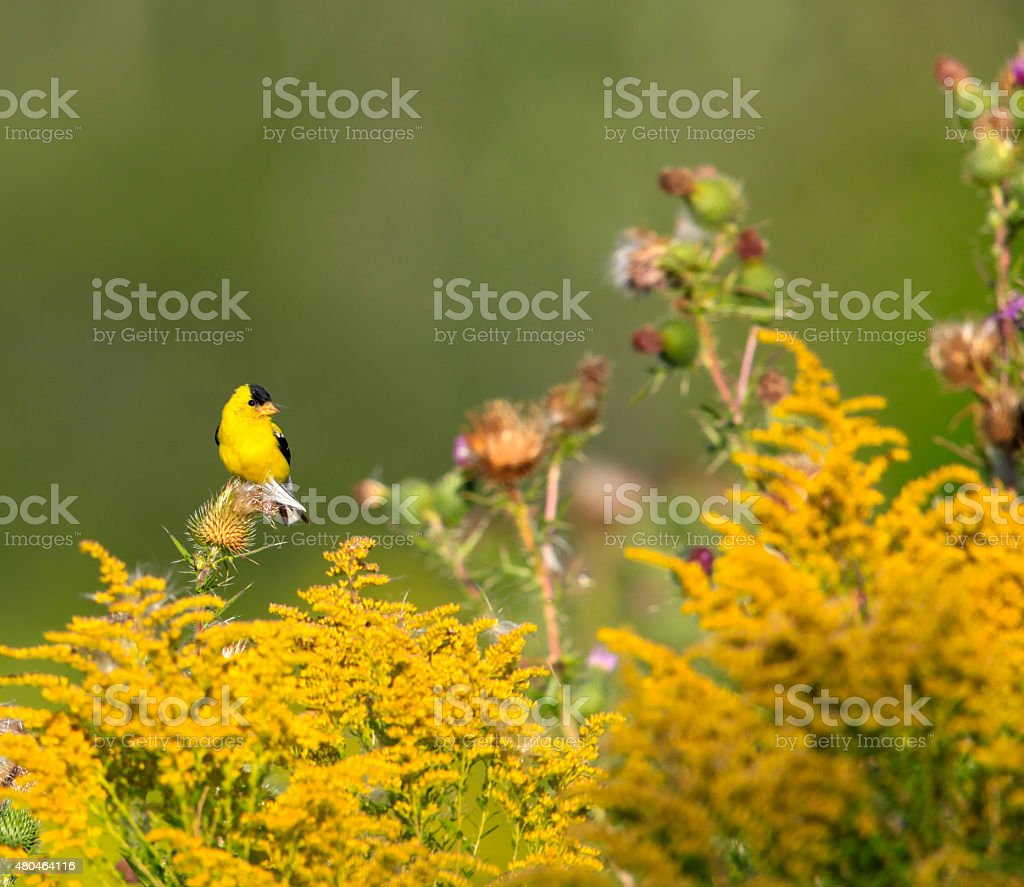 American Goldfinch Amidst Thistle and Goldenrod stock photo