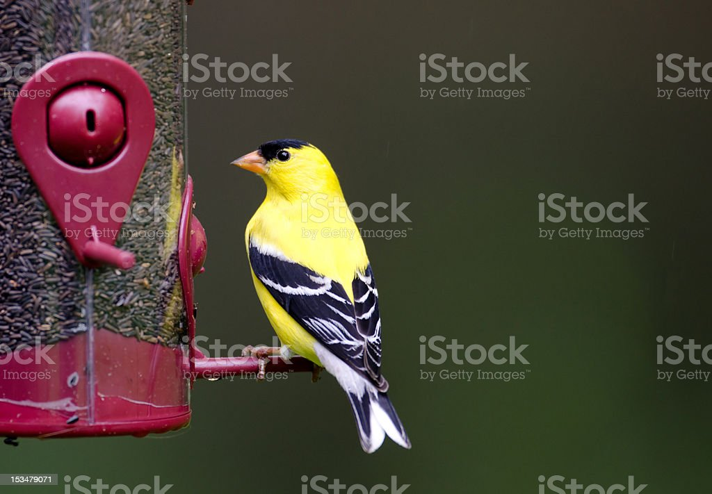 American goldfinch at feeder stock photo