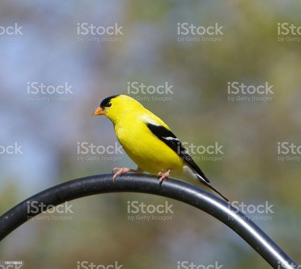 American Goldfinch, Carduelis tristis stock photo