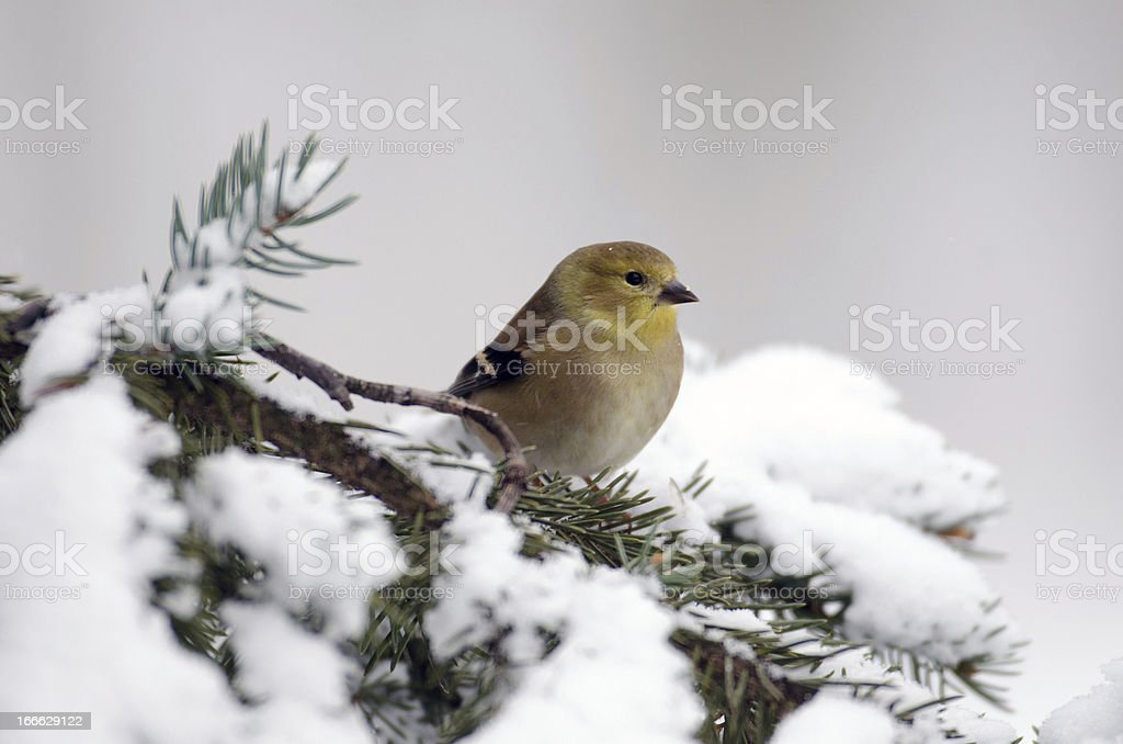 American Goldfinch in the show stock photo