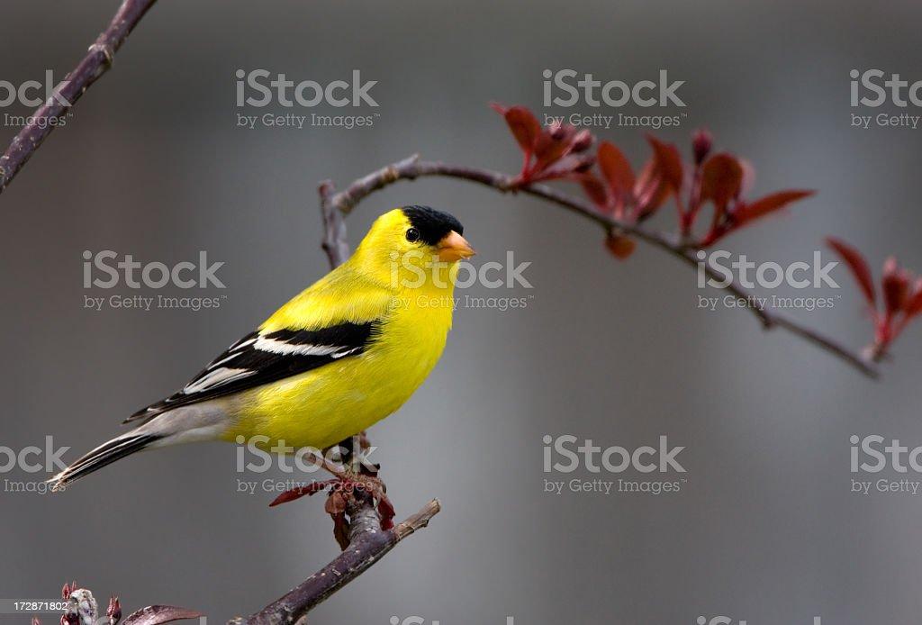 American Goldfinch - Male stock photo
