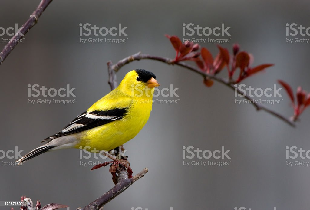 American Goldfinch - Male stock photo