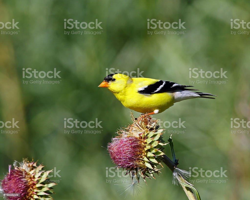American Goldfinch Male stock photo