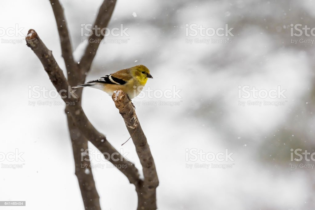 American Goldfinch (Carduelis Tristis) On a Snowy Winter Day stock photo