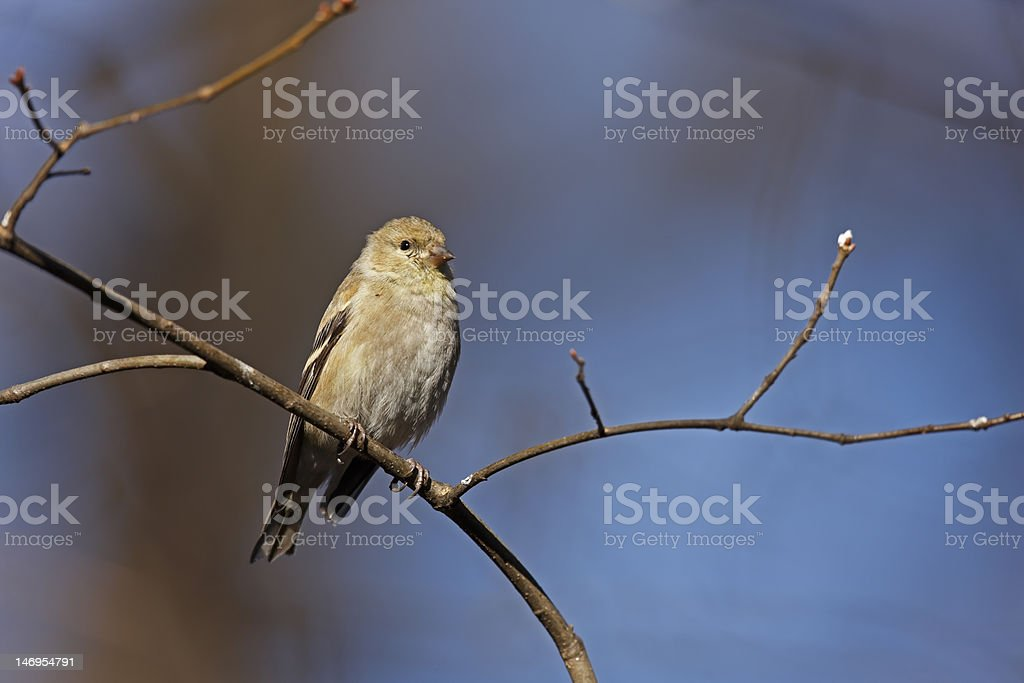 American Goldfinch on branch stock photo