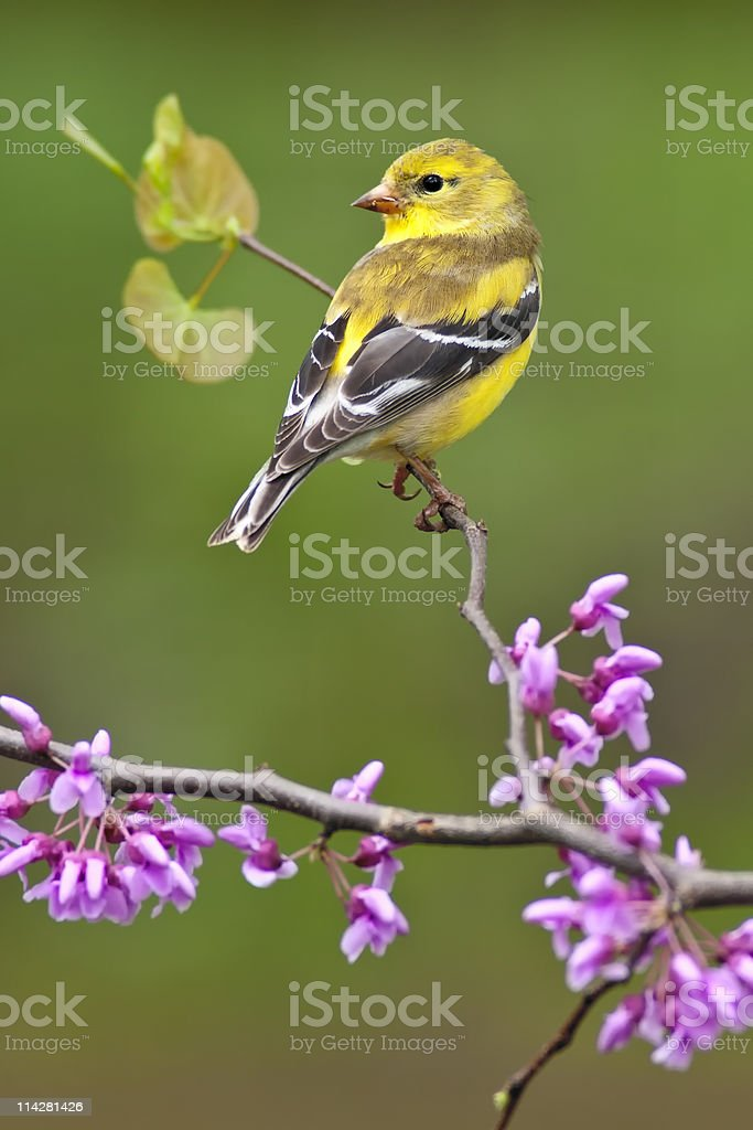 American Goldfinch on Redbud stock photo