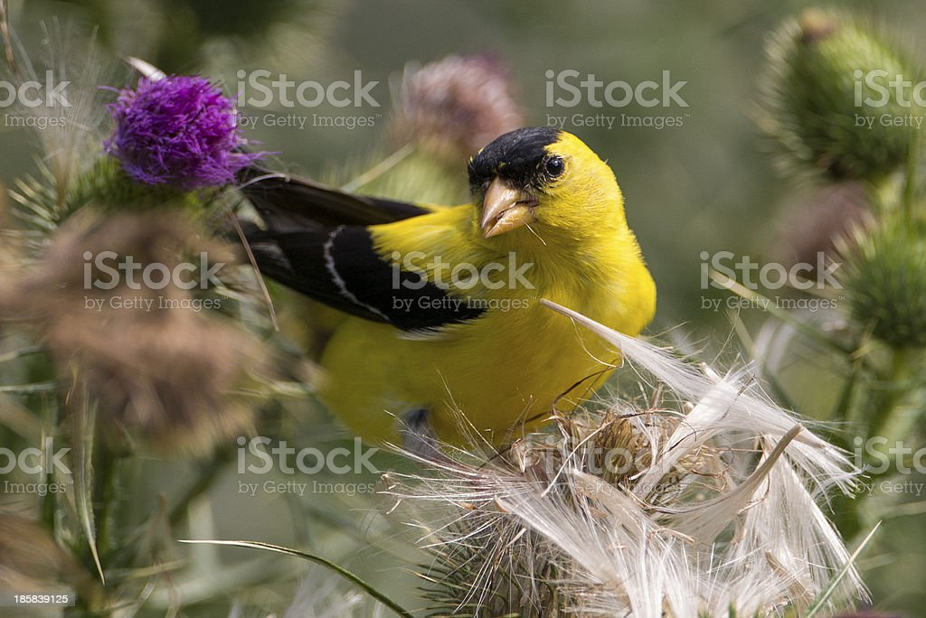 American Goldfinch on Thistle stock photo