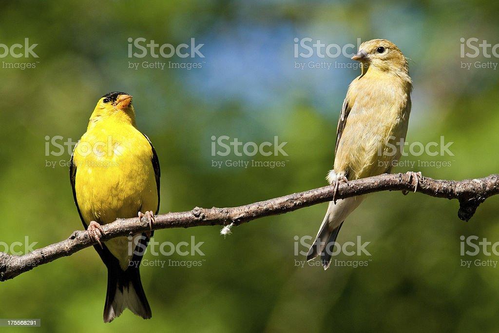 American Goldfinch Pair stock photo