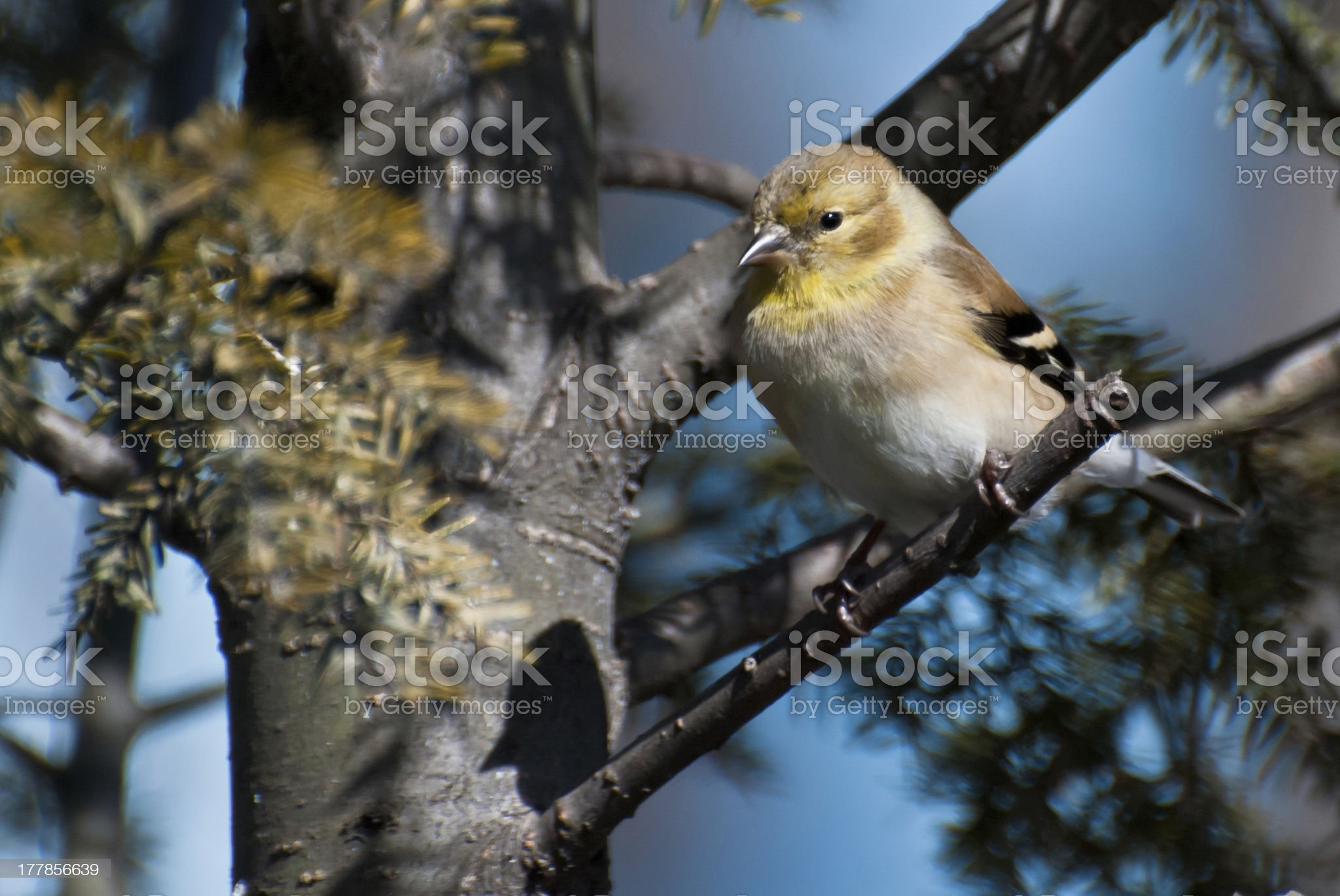 American Goldfinch Perched in a Tree royalty-free stock photo