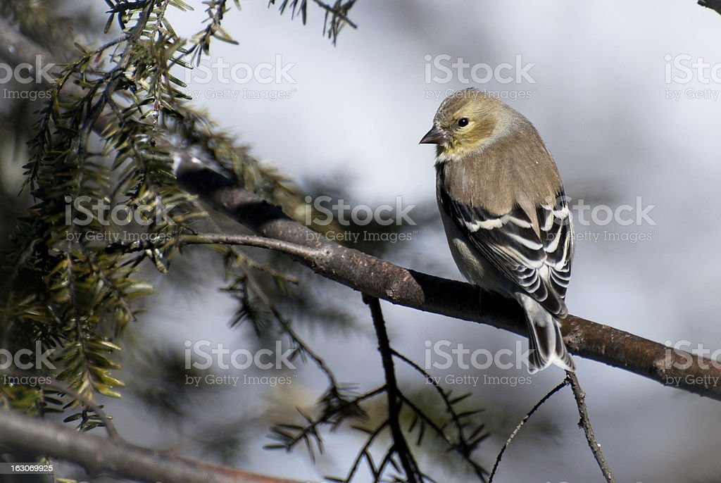 American Goldfinch Perched in Winter stock photo