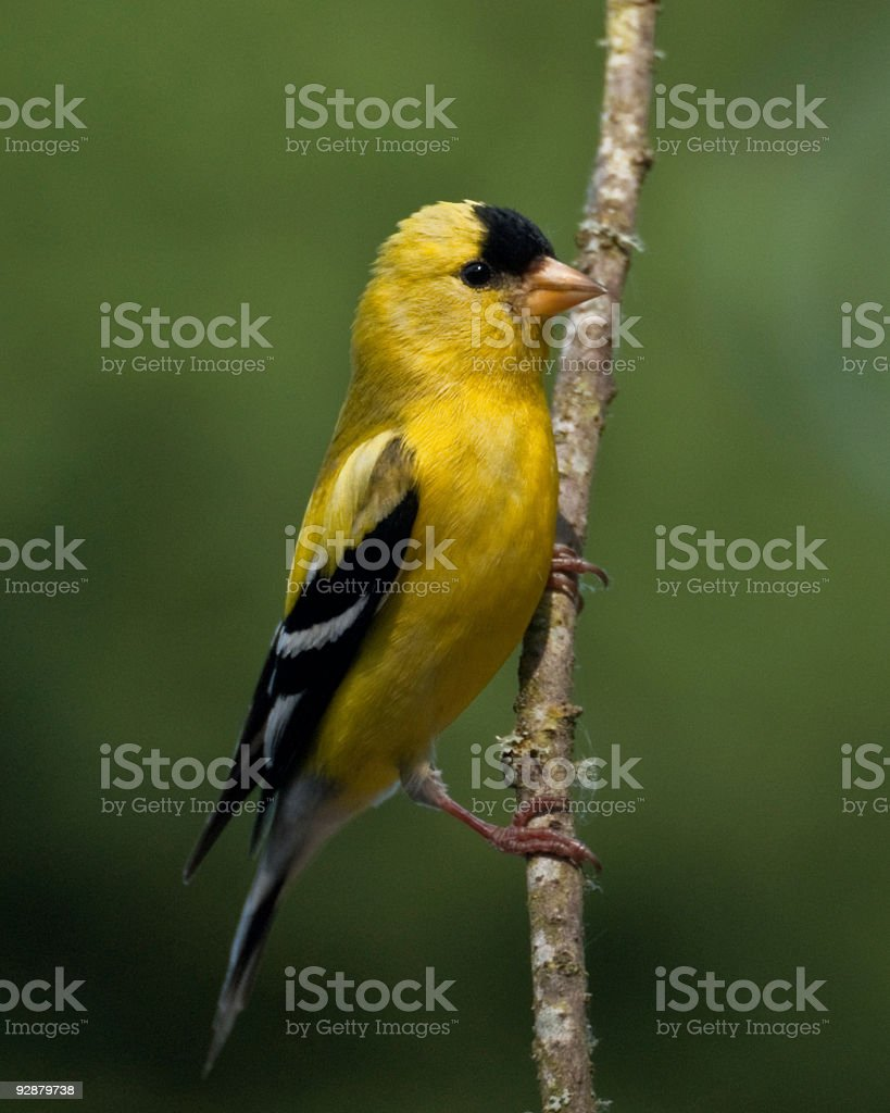 American Goldfinch Perched on a Branch stock photo