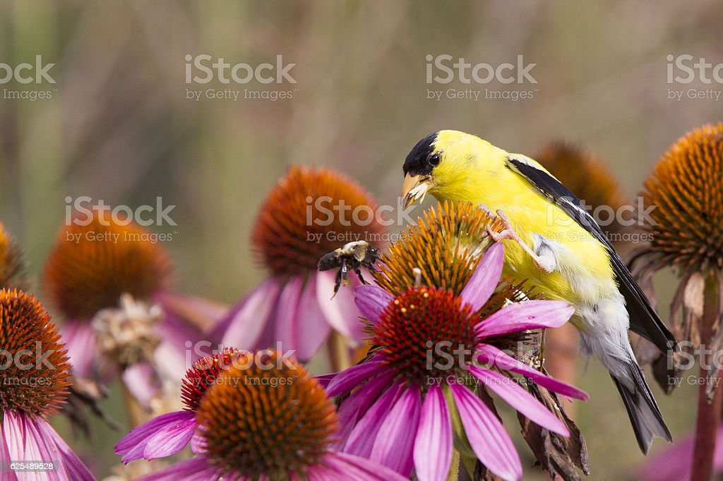 American goldfinch perched on pink flowers eating seeds. stock photo