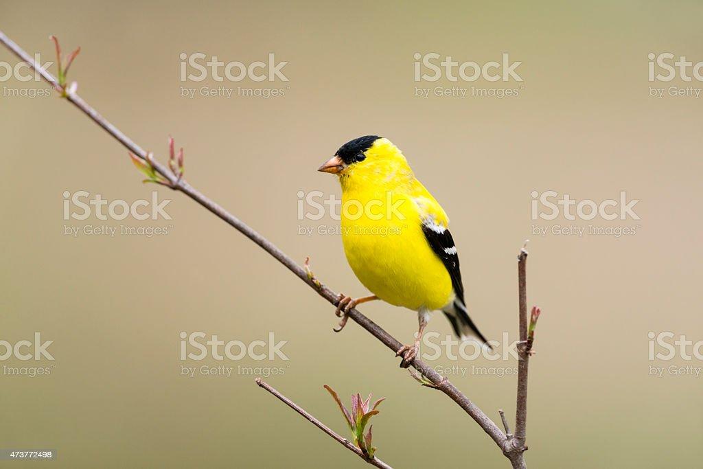 American goldfinch perching, male, yellow bird in the wild stock photo