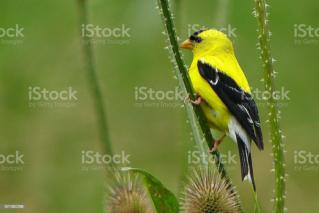 American Goldfinch Perching stock photo