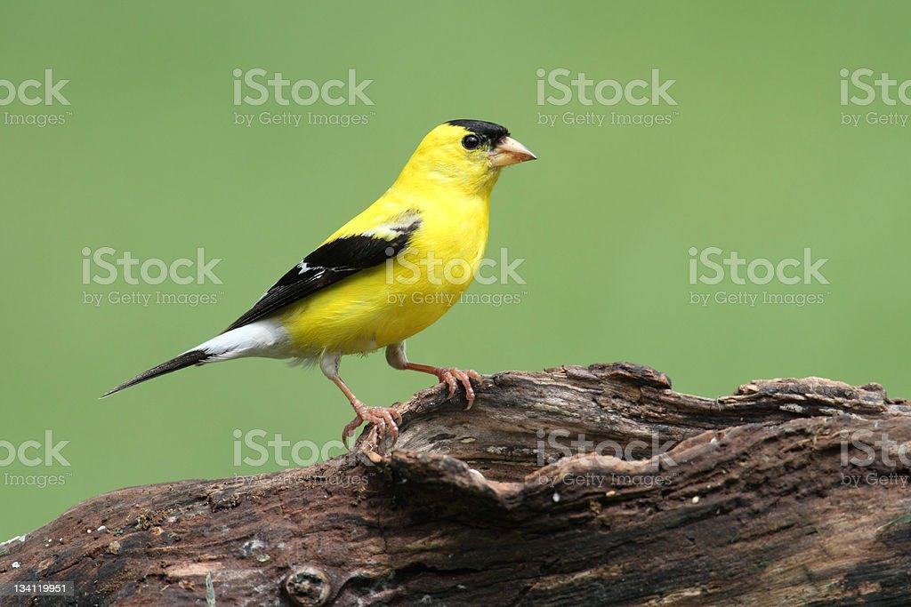 American Goldfinch stock photo