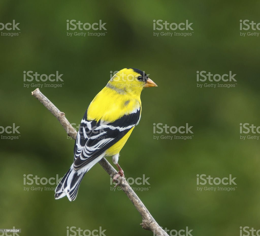 American Goldfinch (Male) stock photo