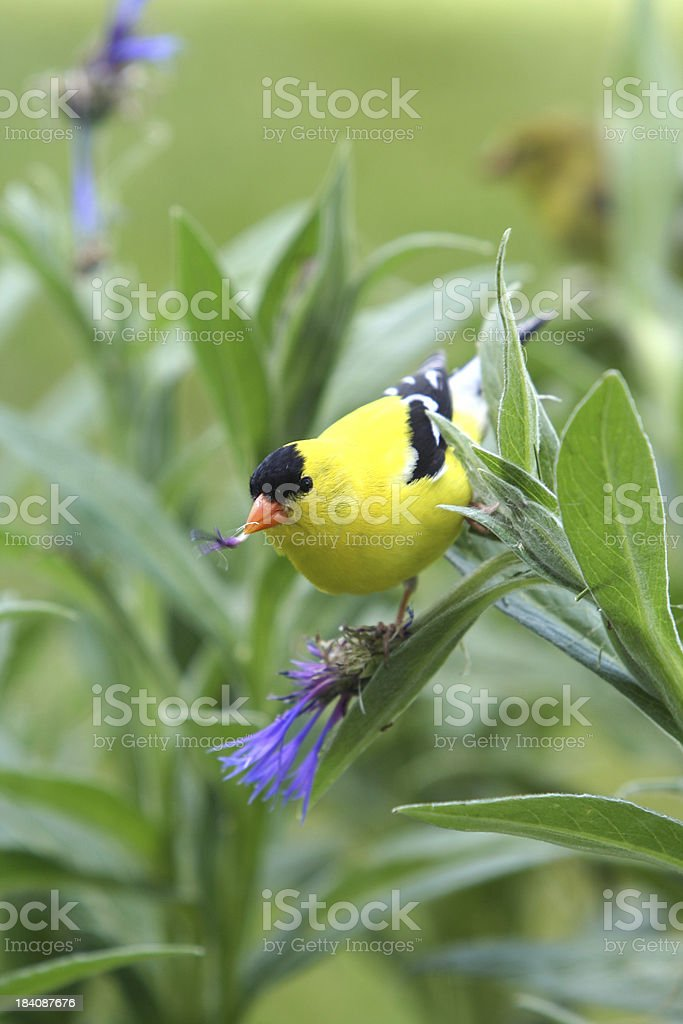 American Goldfinch royalty-free stock photo