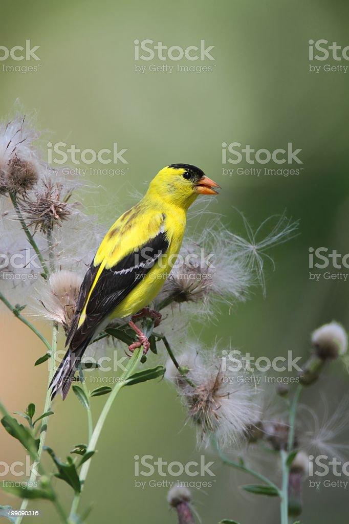 American Goldfinch (Carduelis tristis) stock photo