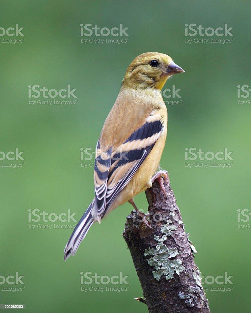 American Goldfinch (Female) stock photo