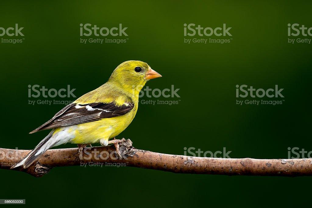 American Goldfinch - Spinus tristis stock photo