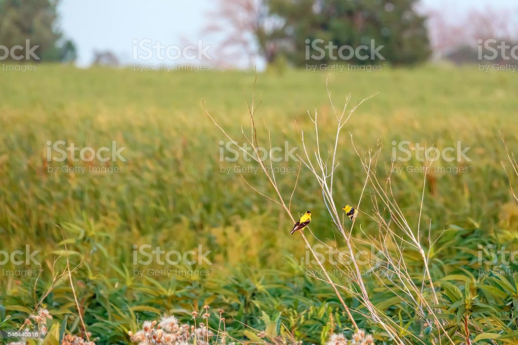 American goldfinches in prairie stock photo
