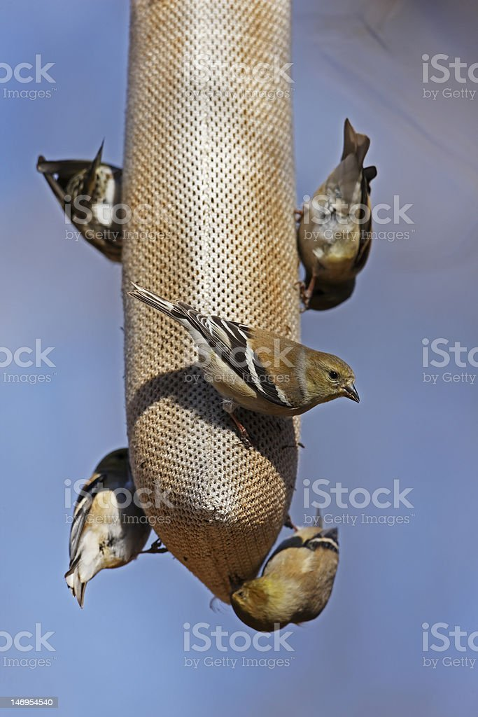 American Goldfinches on feeder stock photo