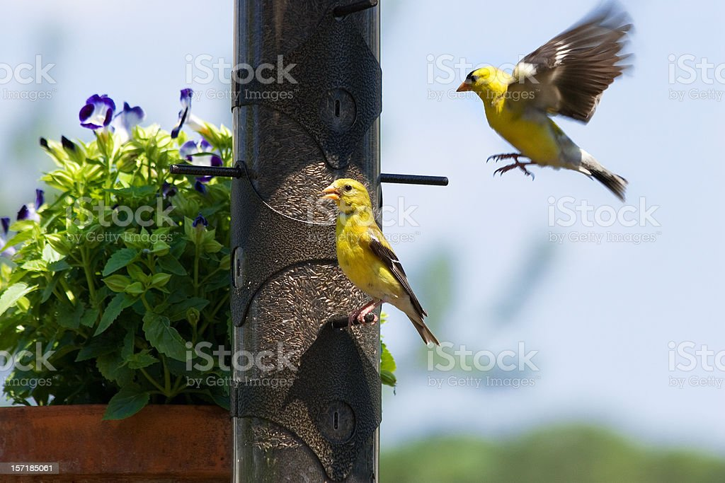 American Goldfinches stock photo
