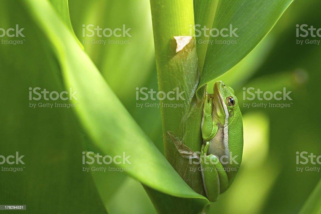 American green tree frog in lush vegetation royalty-free stock photo