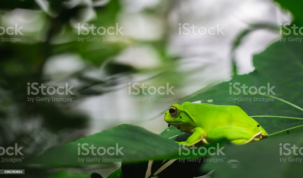 American green tree frog with lush ginger foliage stock photo