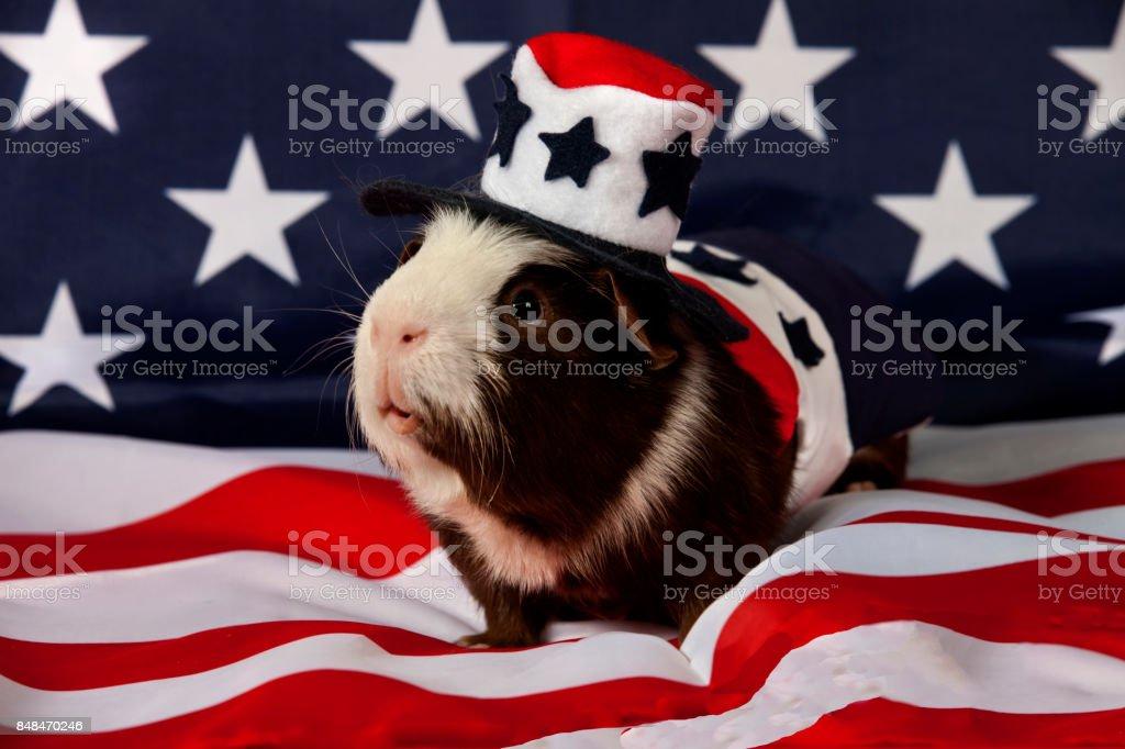 American Guinea Pigs (Cavia porcellus) stock photo