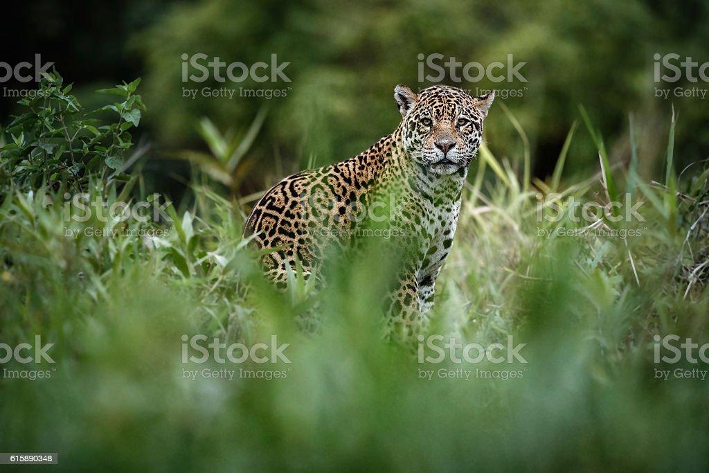 American jaguar female in the nature habitat stock photo