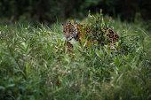 American jaguars mating in the nature habitat
