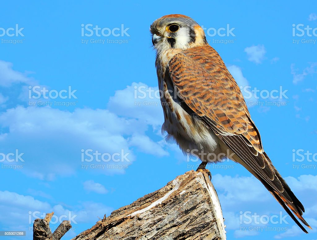 American Kestrel - Blue Sky Background stock photo